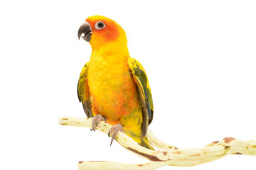 Sun Conure, Aratinga solstitialis, Isolated on white
