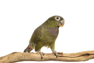 Maximillian Pionus parrot isolated on white