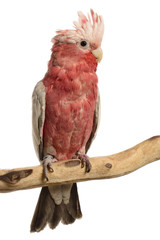 Rose-Breasted Cockatoo, Eolophus roseicapilla, isolated on white