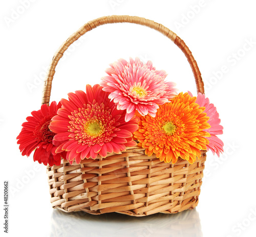 beautiful gerbera flowers in basket isolated on white