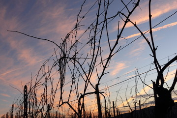 Vite in inverno in Toscana - Grape vines at winter in Tuscany