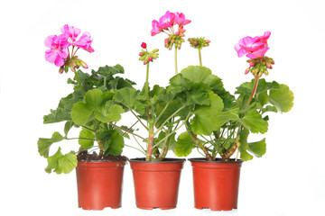 three pot with pink geraniums