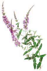 Lythrum salicaria - salcerella