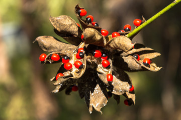 rosary pea most poisonous plant in the World