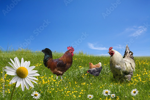 Foto op Canvas Kip Free range chickens on green meadow