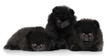 Black Spitz puppies on a white background