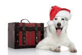 Siberian husky dog in Santa red hat