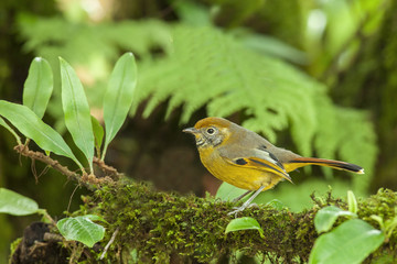 Bar-throated Minla from Doi inthanon, thailand.