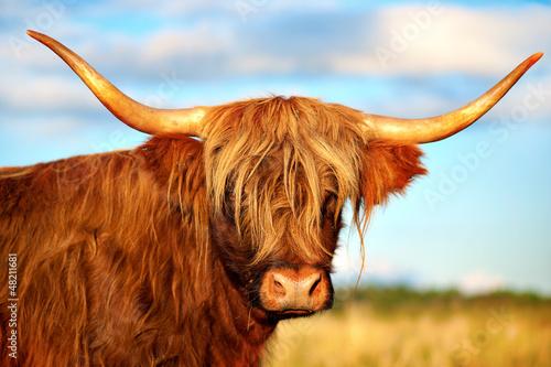 Fotobehang Koe scottish highland cow