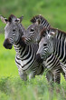 Zebras together