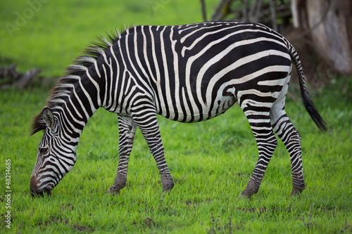 zebra-wypas