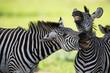 Fototapeten,zebra,zebra,afrika,afrikanisch