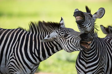 Zebras with mouths open