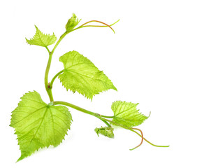 Fresh Green Grape Leaf on isolated white Background
