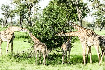 masai giraffes in Serengeti national park