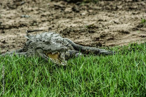 Caiman sitting over green grass.