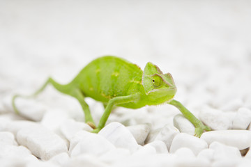 Yemen Chameleon is walking on white stones.
