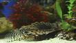 firefish, lion-fish, zebra-fish (Pterois)