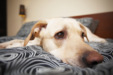 Labrador is lying on bed in home