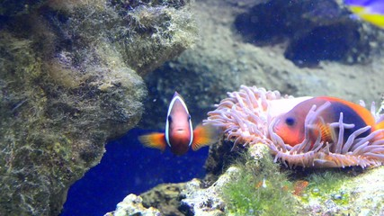 anemonefish (clown fish)