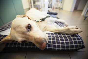 Ill labrador retriever in veterinary clinic.