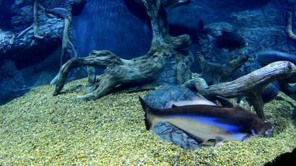 amazonian fishes