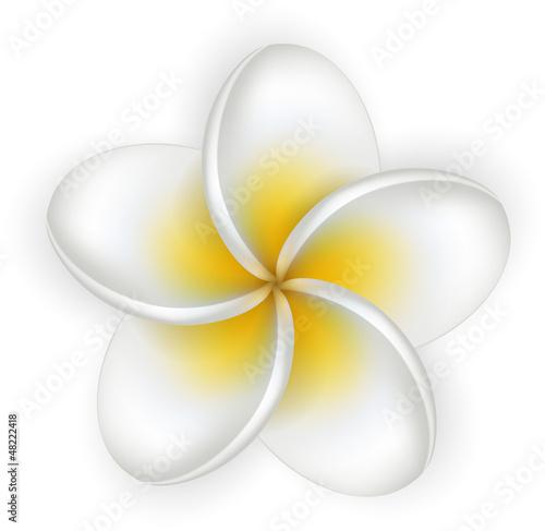 White plumeria (frangipani) flower.