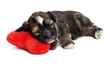 Cute sleeping Valentine Havanese puppy dog on a red heart