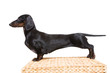 black dachshund with fine exterior on isolated white