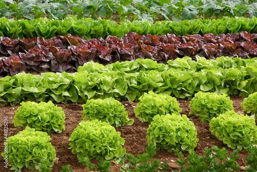 Reihen von Salatpflanzen vor der Ernte