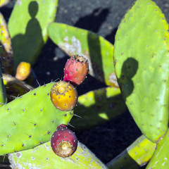cactus fruit in detail