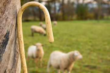 Hirtenstab, Schafe