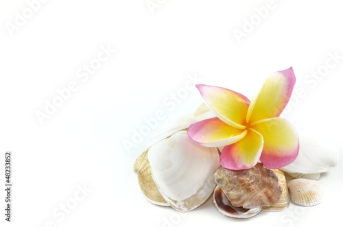 Plumeria flowers and sea shells..isolated on white