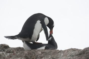 Mating penguins.