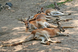 Tired Kangaroos
