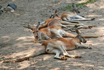 Tired Kangaroos