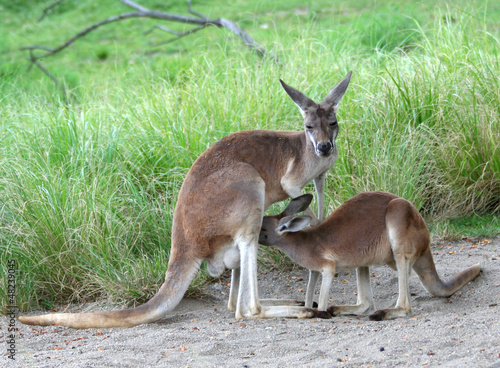 Kangaroo feeding baby joey