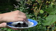 woman hand collect ripe blackberry plant bush dish
