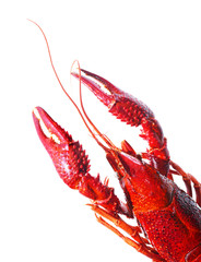 red crayfish lobster prawn isolated on white background