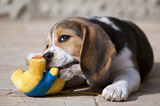 Cute beagle puppy playing with his toy