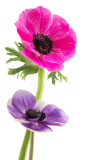 couple of beautiful anemone flowers