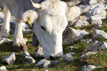 Primo piano di una mucca che pascola