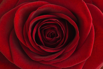 Red rose close-up