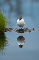 Sleepy black-headed gull