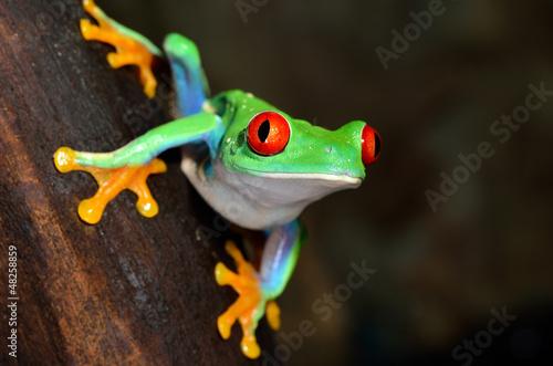 Foto op Plexiglas Kikker red-eye frog Agalychnis callidryas in terrarium