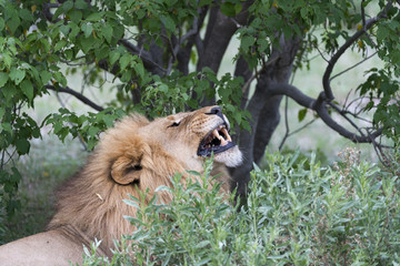 Male Lion Yawnig