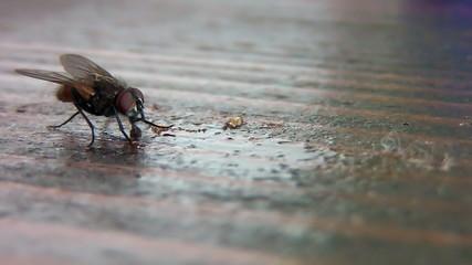 House fly sucking sweet juice