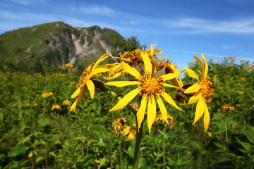 Mt. Nikko Shirane and Yellow flower, Ligularia dentata, Japan