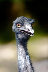 Emu front view