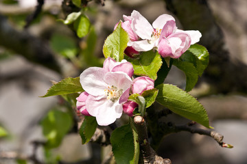 apple blossom on well pruned tree